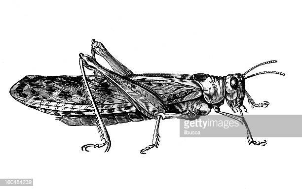 cricket - insect stock illustrations