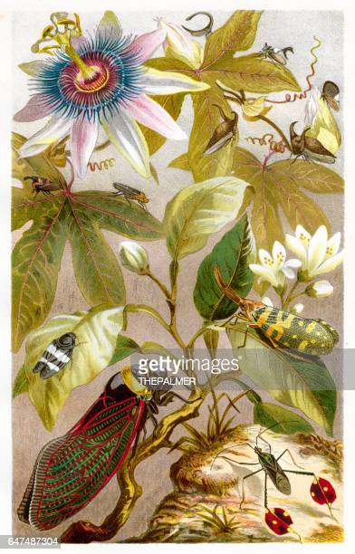 cricket insect chromolithograph 1884 - chromolithograph stock illustrations