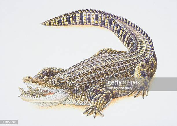 Crocodlyus niloticus, Nile Crocodile carrying its offspring in its mouth.