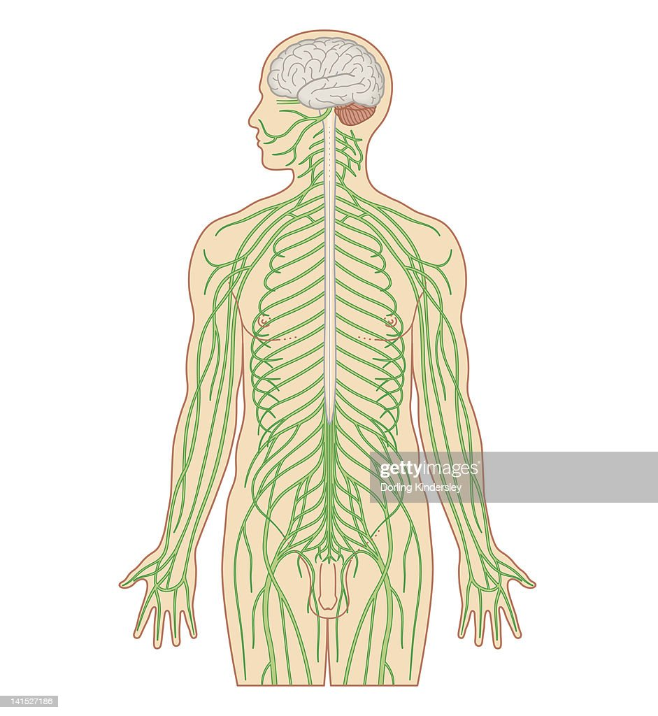 Cross section biomedical illustration of brain and nervous system in adult male : stock illustration