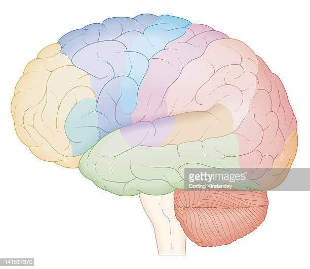cross section biomedical illustration of brain map - temporal lobe stock illustrations, clip art, cartoons, & icons