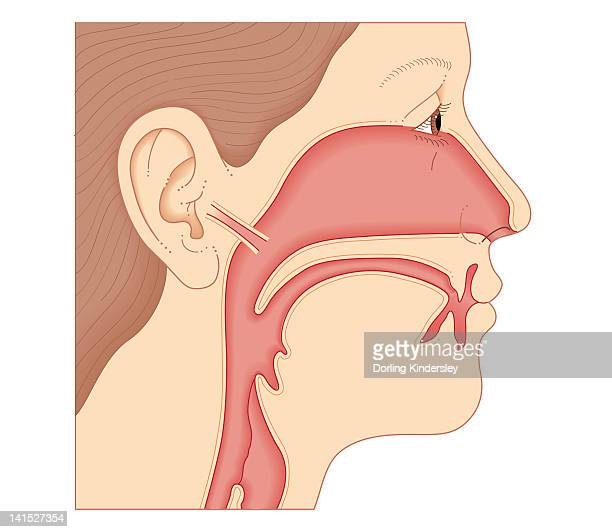 Ear Nose And Throat Stock Illustrations And Cartoons
