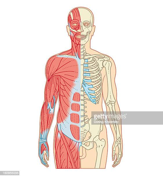 Cross section biomedical illustration of musculoskeletal system in adult male