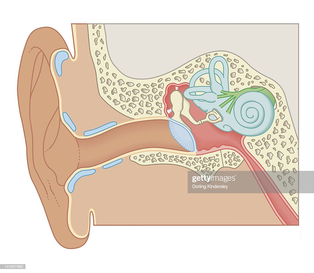 Cross Section Biomedical Illustration Of The Anatomy Of The Ear ...