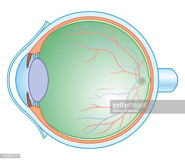 ilustraciones, imágenes clip art, dibujos animados e iconos de stock de cross section biomedical illustration of the anatomy of the human eye - optic nerve