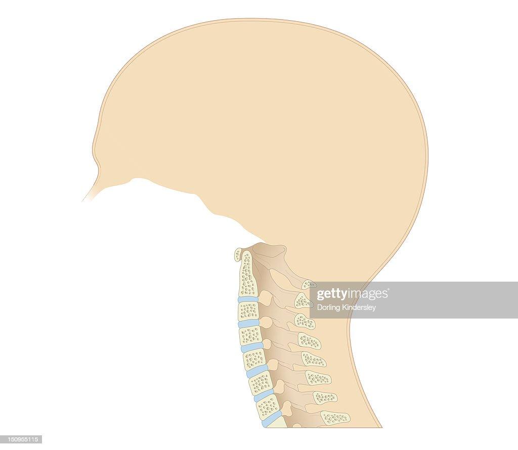 Cross Section Biomedical Illustration Of Vertebral Column In Neck