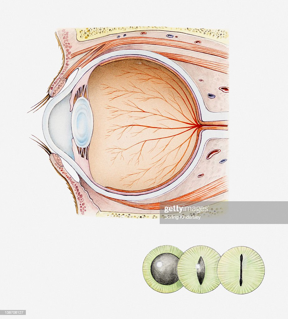 Cross Section Iillustration Of Eye Of Domestic Cat With Inset