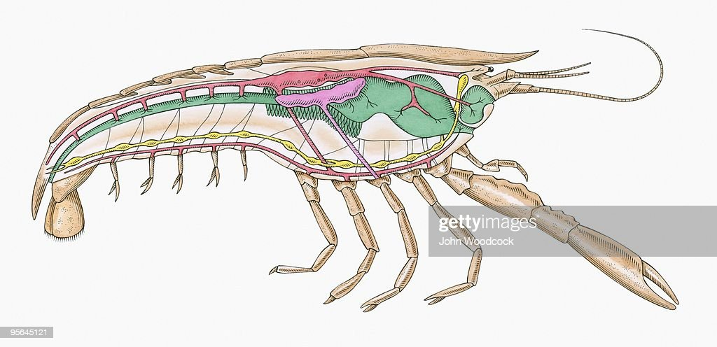 Cross Section Illustration Of Internal Anatomy Of Female Crayfish