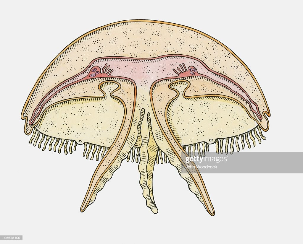 Cross Section Illustration Of Internal Anatomy Of Jellyfish Stock ...