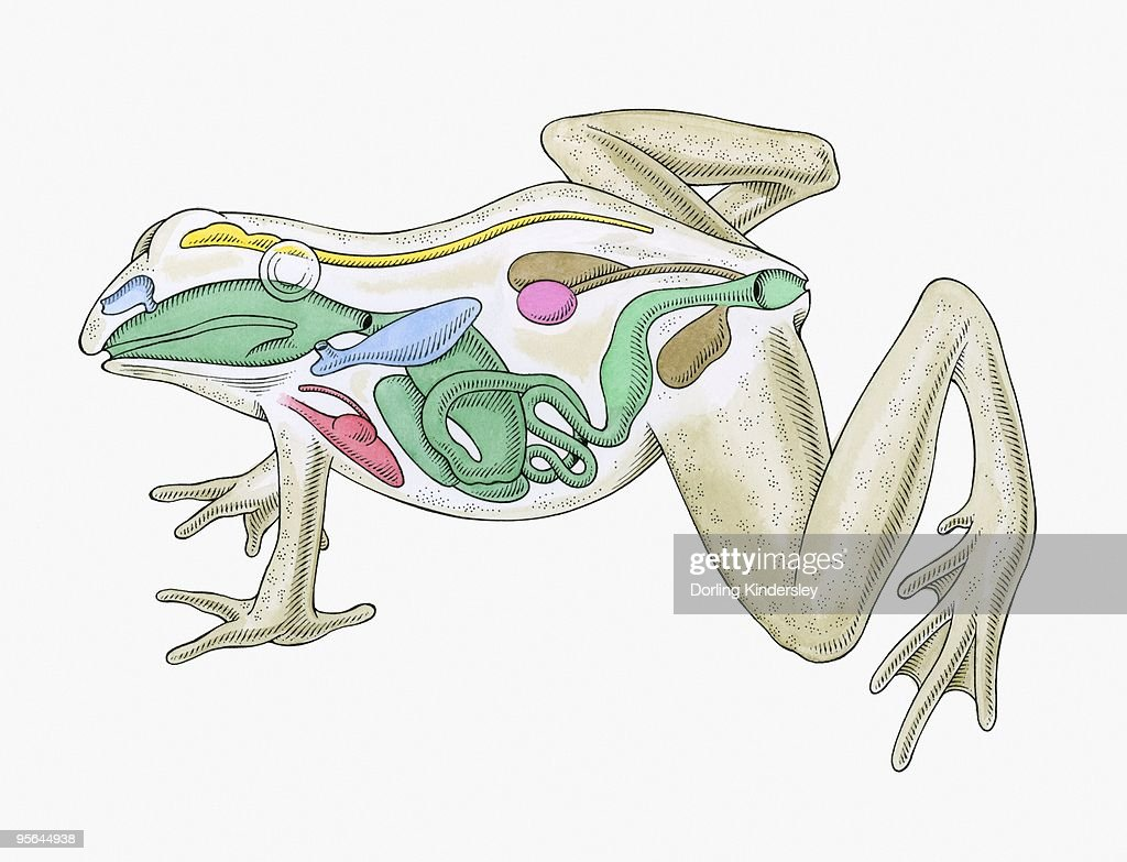 Cross Section Illustration Of Internal Anatomy Of Male Frog Stock ...