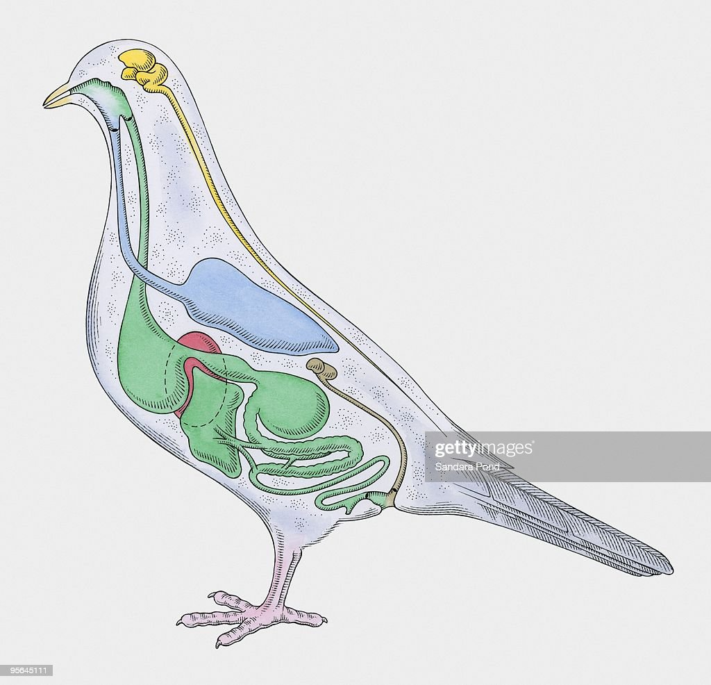 Cross Section Illustration Of Internal Anatomy Of Pigeon Stock