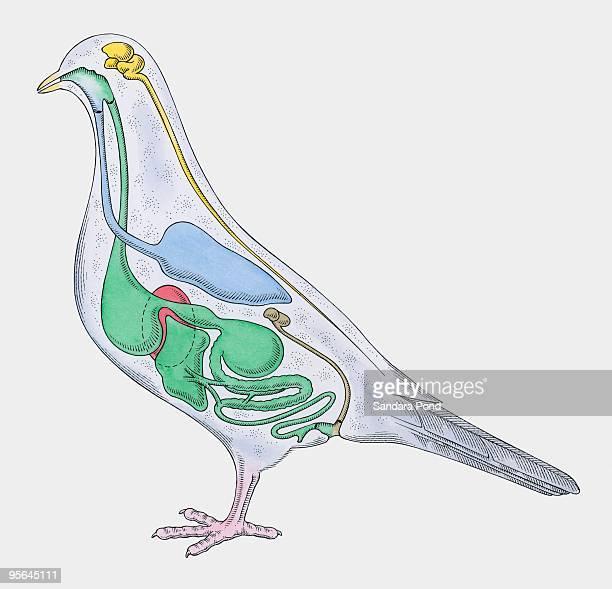 cross section illustration of internal anatomy of pigeon - animal spine stock illustrations, clip art, cartoons, & icons