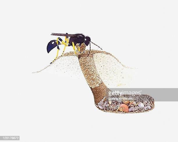 cross section illustration of mud dauber (sceliphron caementarium) at entrance to underground nest as larvae feed on siders inside - endopack stock illustrations