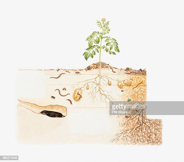 cross section illustration of potato plant growing above soil with roots, insects, mole and ancient bottle in soil strata underground - mammal stock illustrations