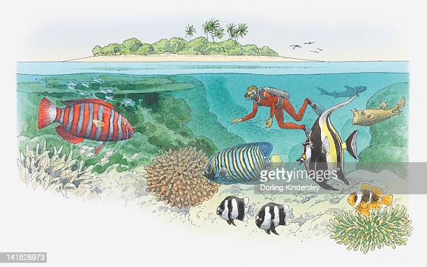 Cross section illustration of scuba diver swimming near coral reef, and tropical in waters off island