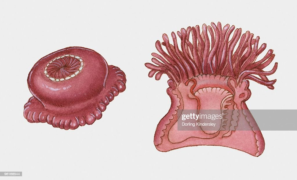 Cross Section Illustration Of Sea Anemone Stock Illustration Getty