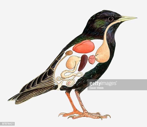 ilustraciones, imágenes clip art, dibujos animados e iconos de stock de cross section illustration of starling (sturnus vulgaris), showing major internal organs - parte del cuerpo animal