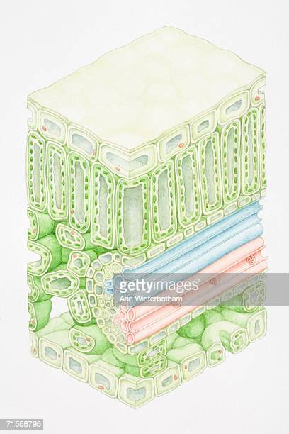 cross section of a green leaf tissue. - tissue anatomy stock illustrations, clip art, cartoons, & icons