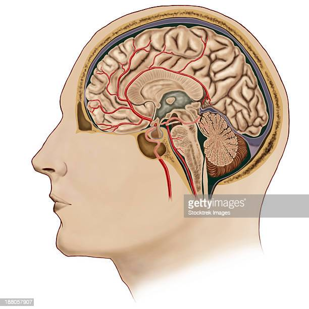 cross section of brain with arteries. - pons stock illustrations, clip art, cartoons, & icons