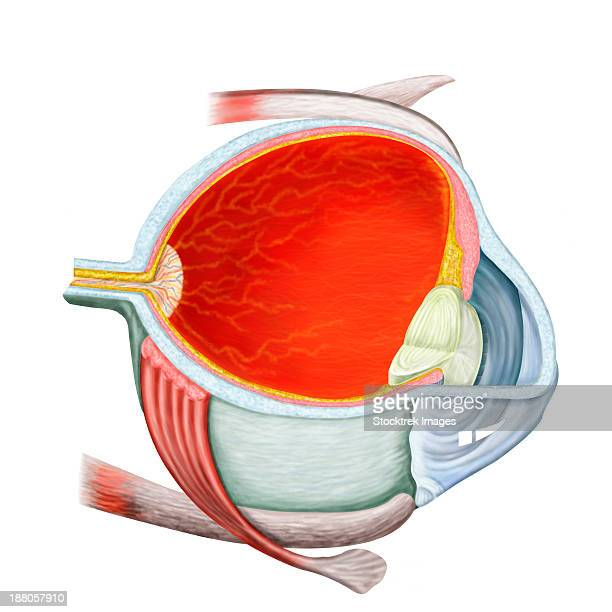cross section of human eye. - cutaway drawing stock illustrations