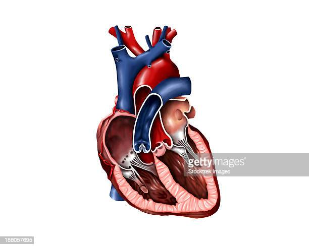 cross section of human heart. - papillary muscle stock illustrations