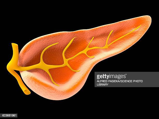 cross section of pancreas, artwork - human pancreas stock illustrations, clip art, cartoons, & icons