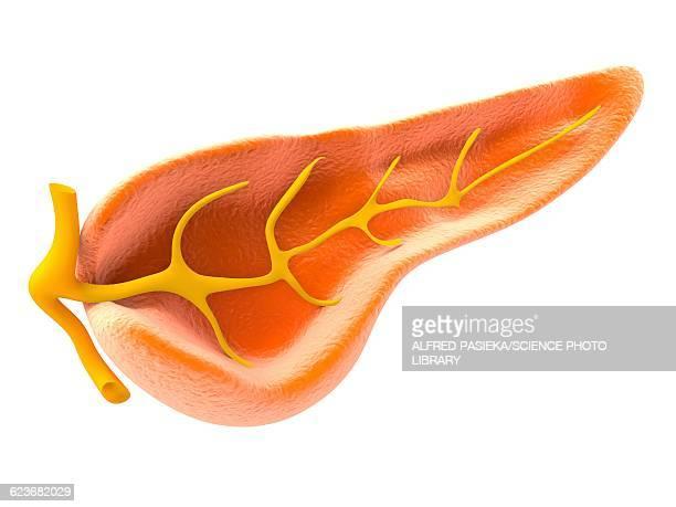 cross section of pancreas, artwork - pancreas stock illustrations