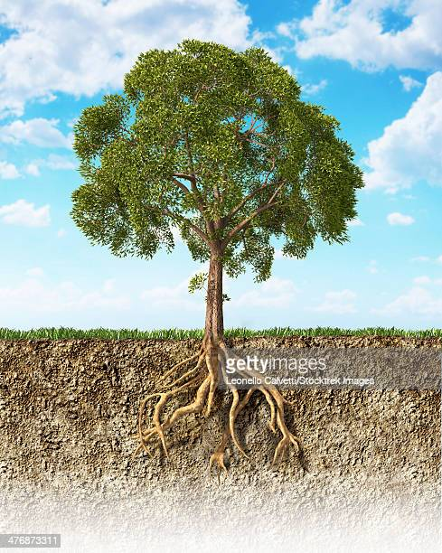 cross section of soil showing a tree with its roots. grass on the surface and fluffy clouds in the background. - root stock illustrations, clip art, cartoons, & icons
