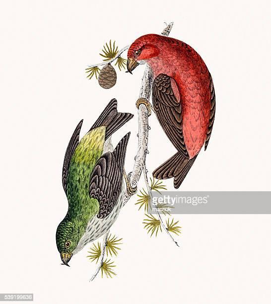 crossbill bird - zoology stock illustrations