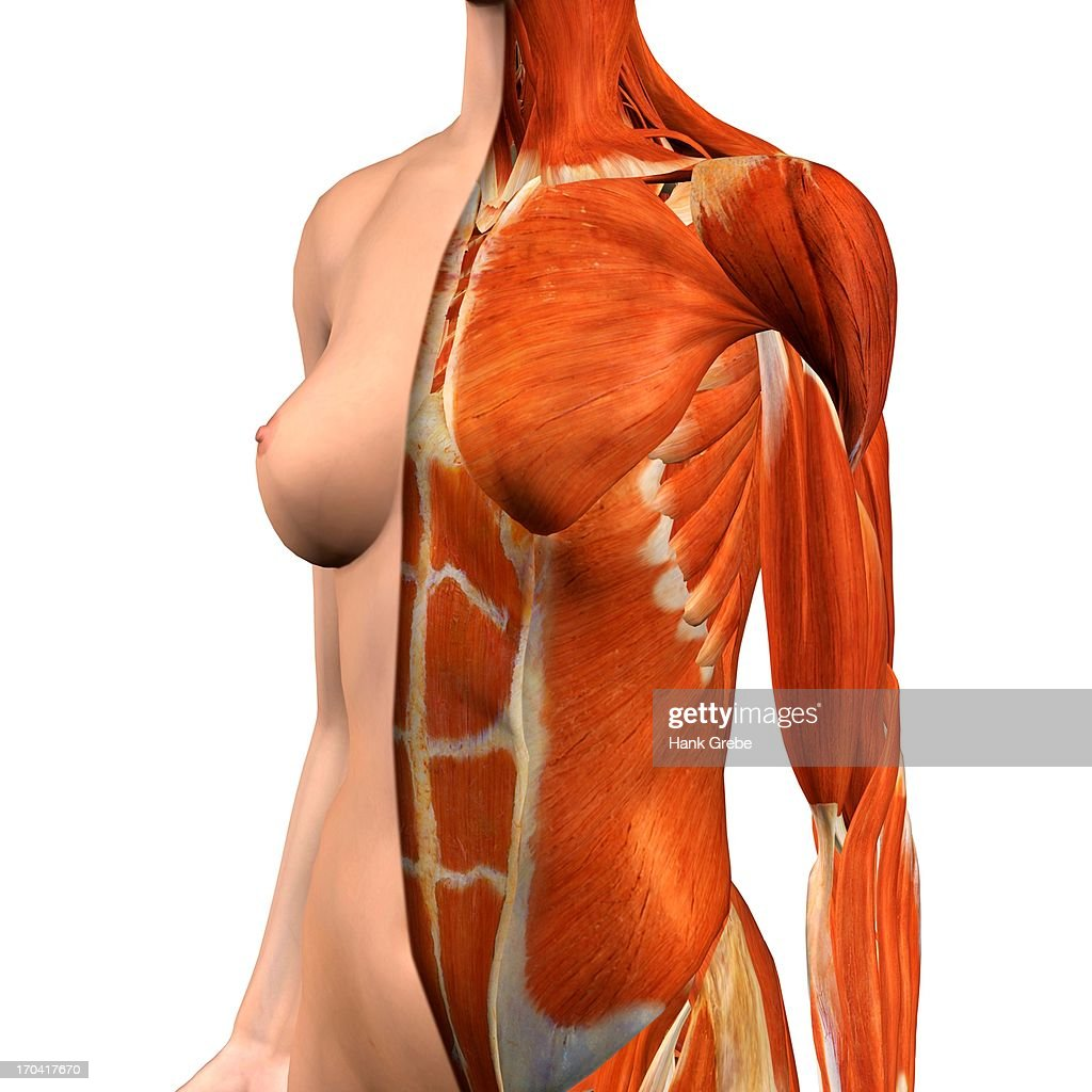 Crosssection Anatomy Of Female Chest And Abdomen Muscles Stock ...