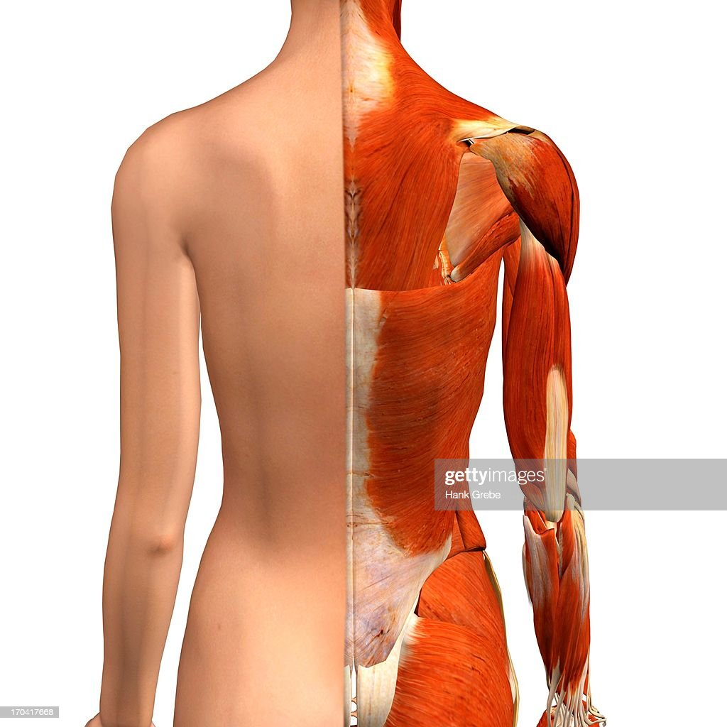 Crosssection Anatomy Of Female Shoulders And Back Muscles Stock