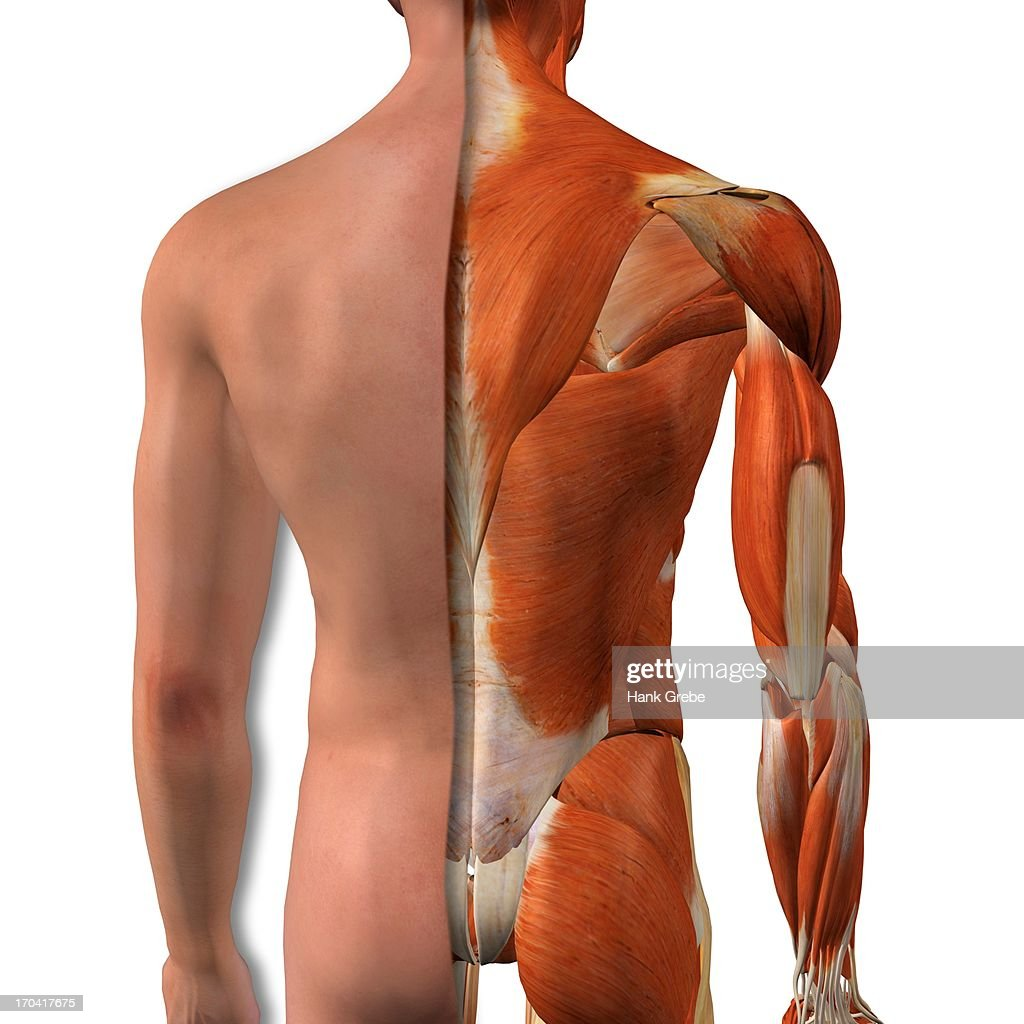 Crosssection Anatomy Of Male Buttocks And Back Muscles Stock