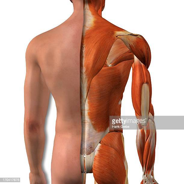 Crosssection Anatomy Of Female Buttocks And Back Muscles Stock ...