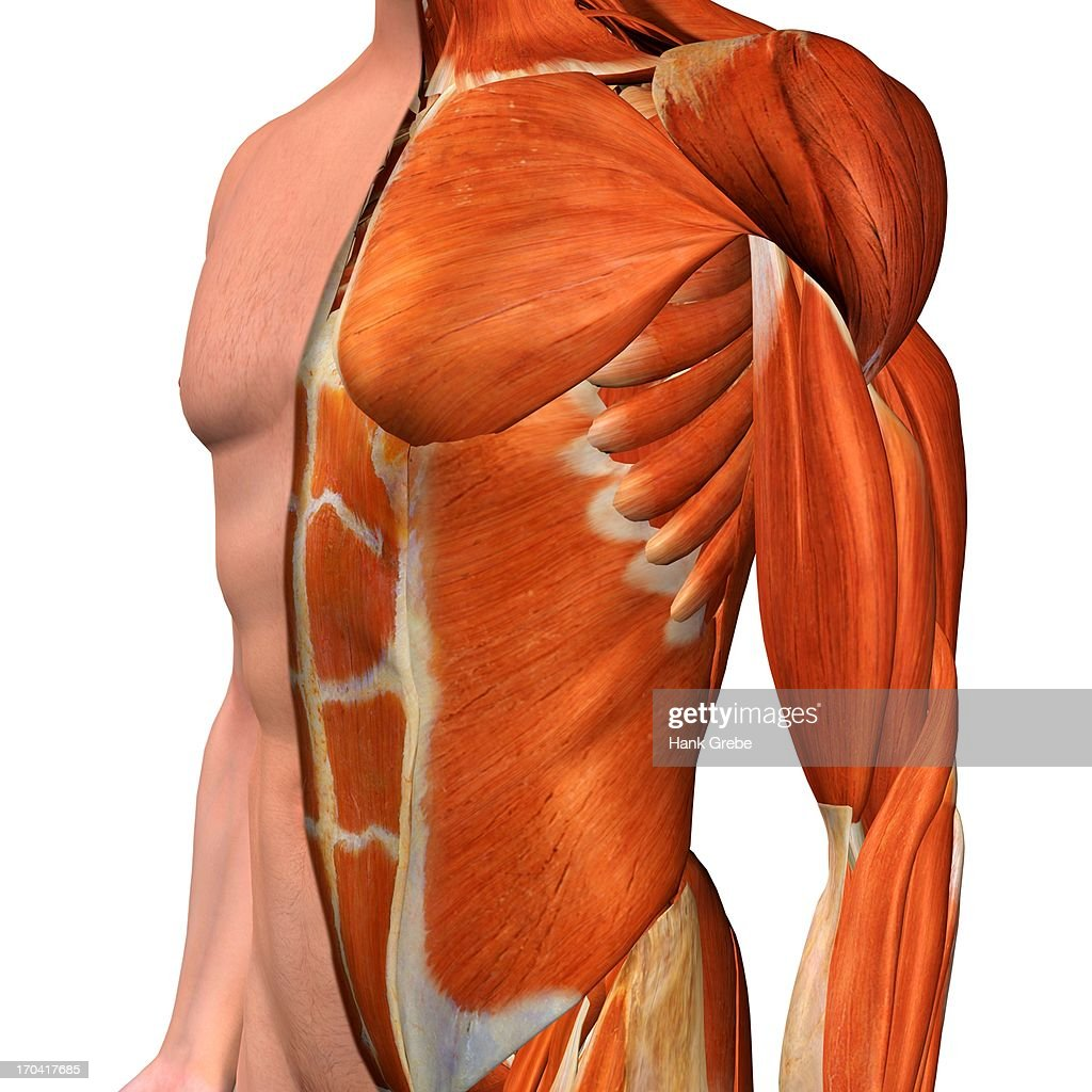 Crosssection Anatomy Of Male Chest Abdomen And Groin Muscles Stock