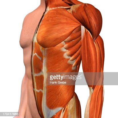 Crosssection Anatomy Of Female Chest And Abdomen Muscles Stock