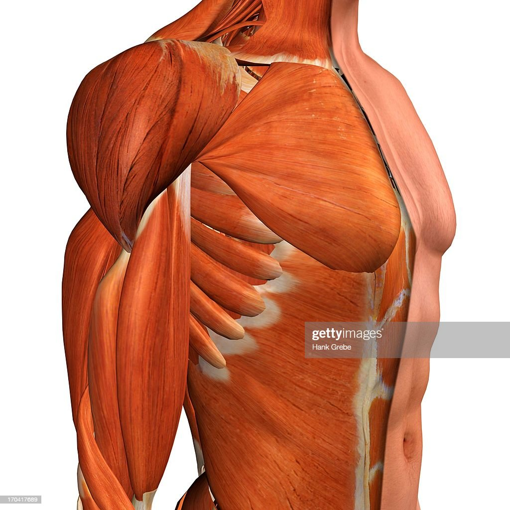 Crosssection Anatomy Of Male Chest Abdomen And Groin Muscles Stock ...