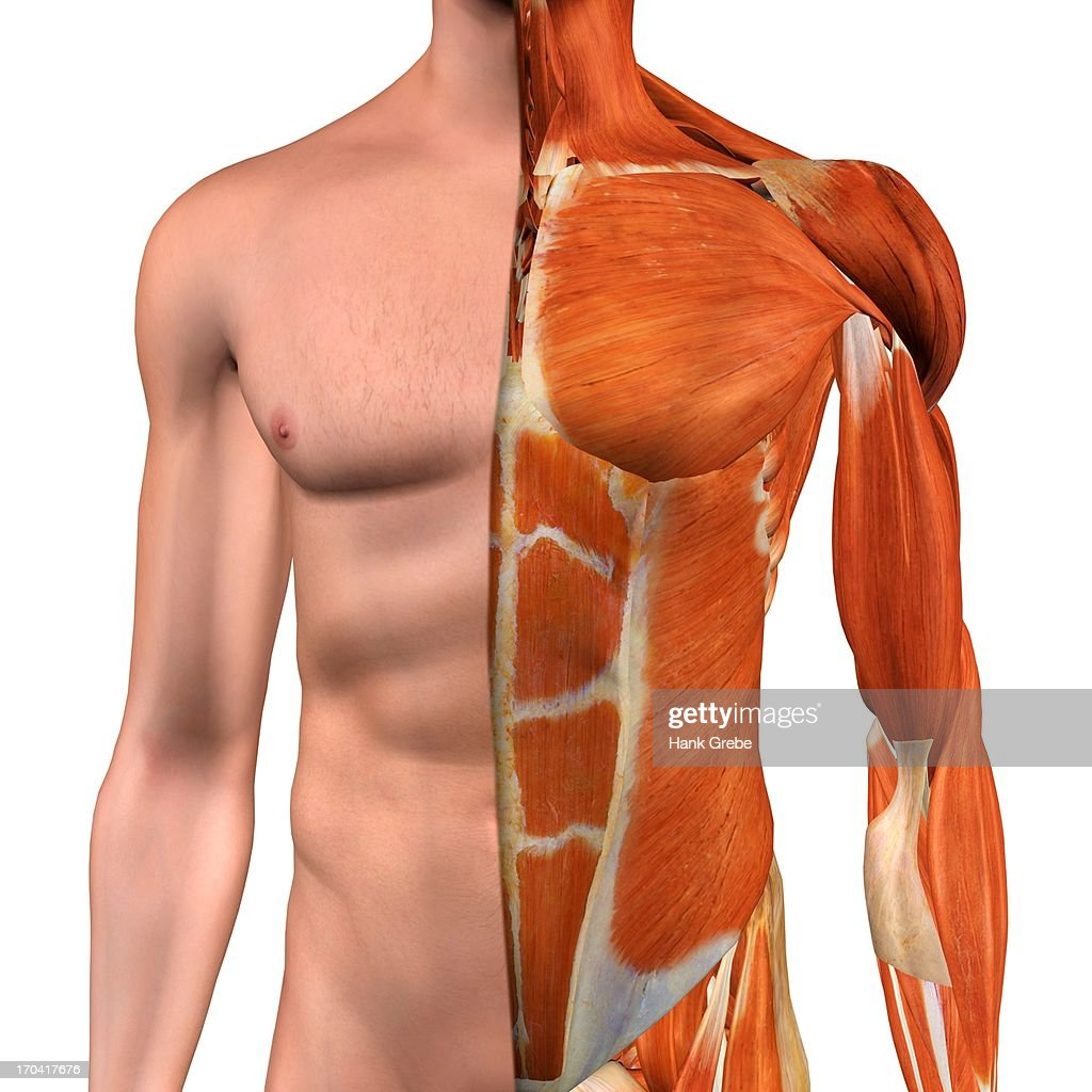 Crosssection Anatomy Of Male Chestabdomen And Groin Muscles Stock ...