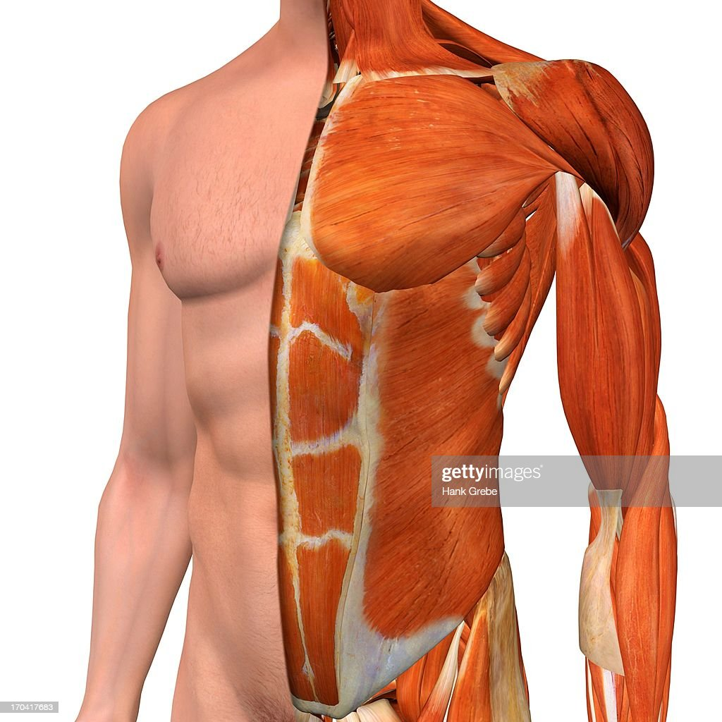 Crosssection Anatomy Of Male Chestabdomen And Groin Muscles Stock