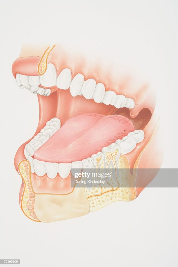 crosssection diagram of human mouth and jaw stock illustrationcross section diagram of human mouth and jaw stock illustration