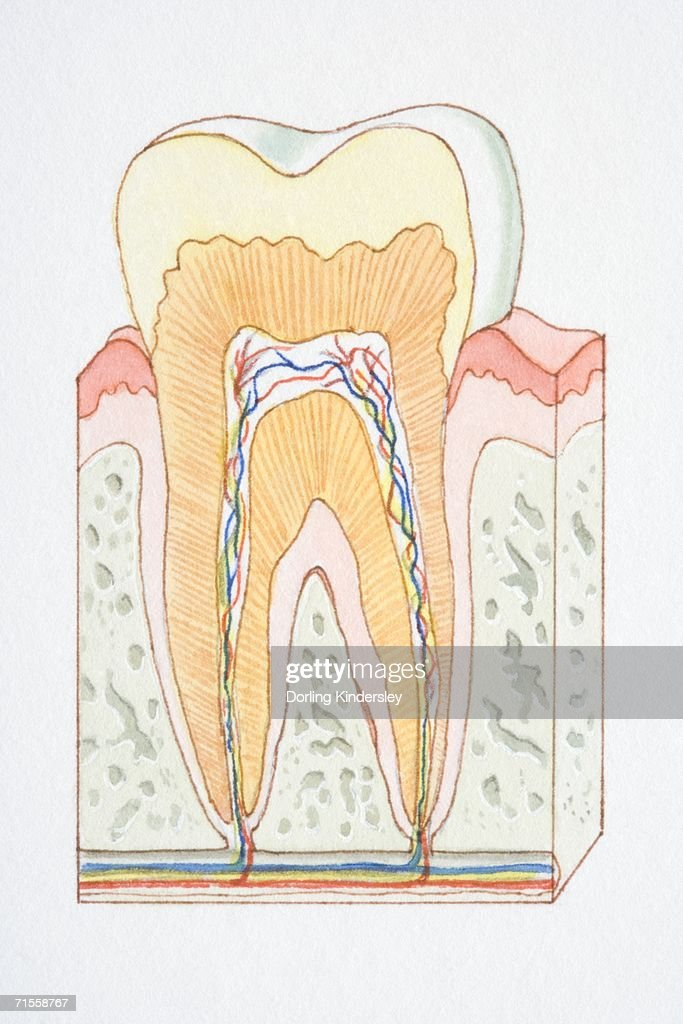 Crosssection diagram of human of tooth stock illustration getty cross section diagram of human of tooth stock illustration ccuart Images