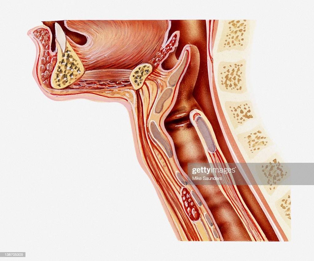 Crosssection Illustration Anatomy Of Human Throat Stock Illustration