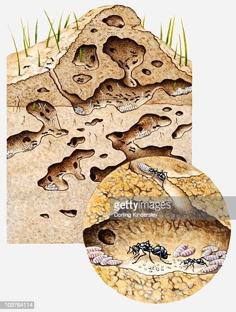 Cross-section illustration of tunnel system inside nest of Black garden ant (Lasius niger)