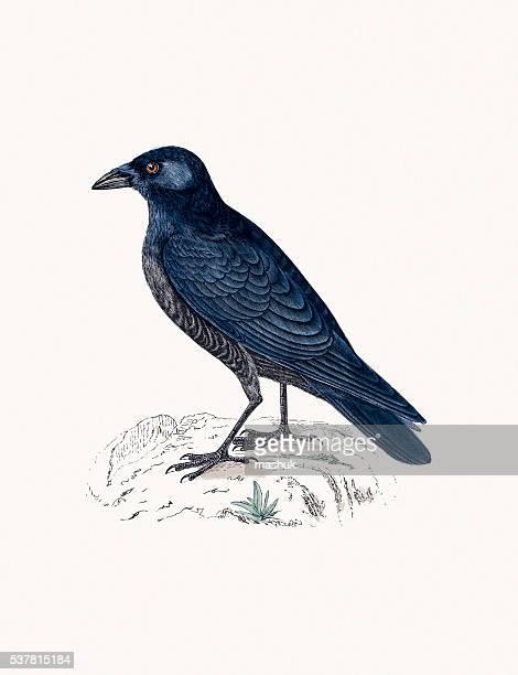 ilustraciones, imágenes clip art, dibujos animados e iconos de stock de pájaro crow - cuervo