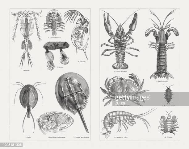 crustaceans (crustacea), wood engravings, published in 1897 - cyclops stock illustrations, clip art, cartoons, & icons