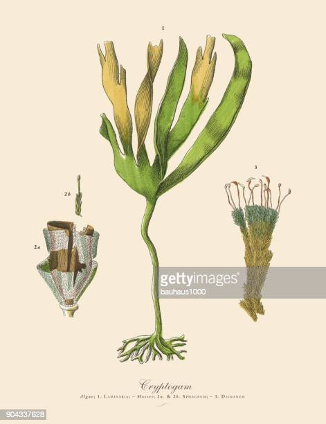 Cryptogam, Algae, Lichens, Mosses, Ferns, Victorian Botanical Illustration