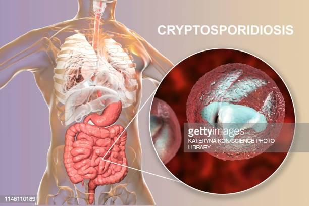 cryptosporidium protozoan intestinal parasite, illustration - human small intestine stock illustrations