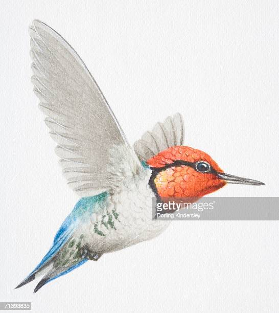 cuban bee hummingbird, mellissuga helenae, with a red head in flight. - cuban culture stock illustrations, clip art, cartoons, & icons