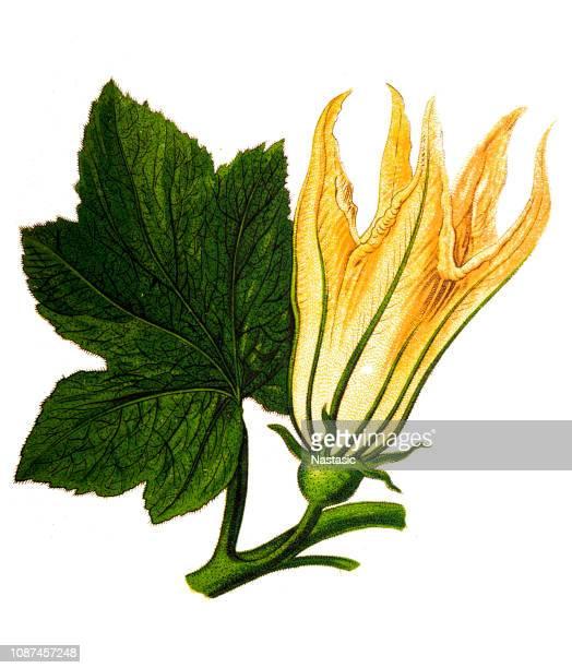 cucurbita ,squash blossoms - marrom stock illustrations