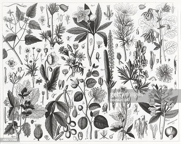 cultivated plants engraving - arugula stock illustrations, clip art, cartoons, & icons