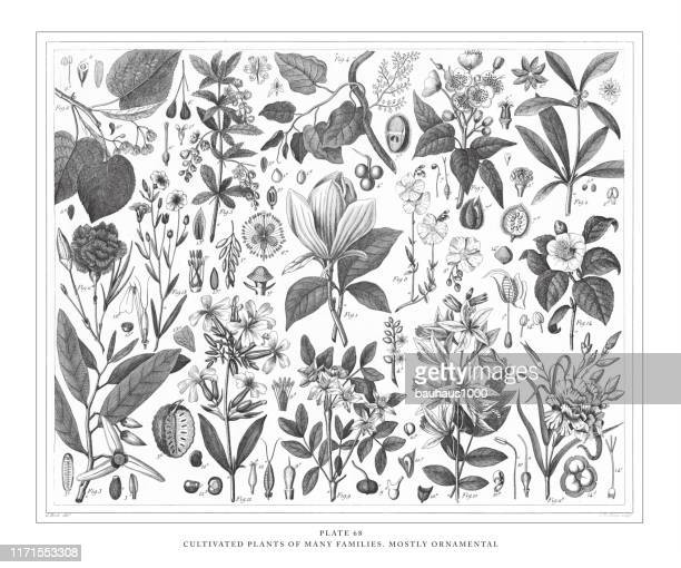 cultivated plants of many families, mostly ornamental engraving antique illustration, published 1851 - ranunculus stock illustrations, clip art, cartoons, & icons